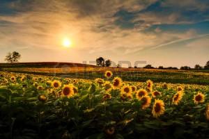 sunflower field in kansas